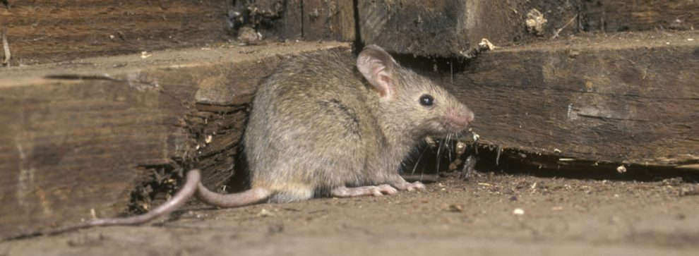 Rodent Infection and Infestation: Signs and Preventions